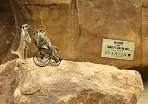 skansenzoo_meerkat